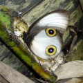 silky owl butterfly, Taenaris catops (3)