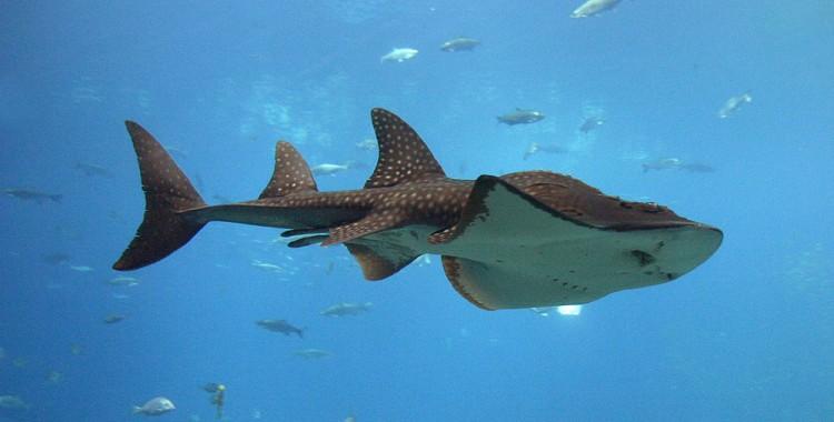 shark ray, Rhina ancylostoma (5)
