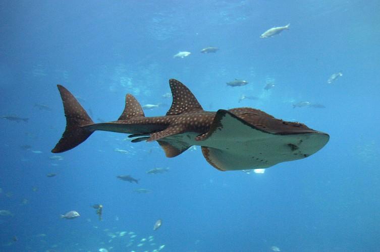 Take a Look at this Bizarre Shark Ray. It's a Shark... Ray ...