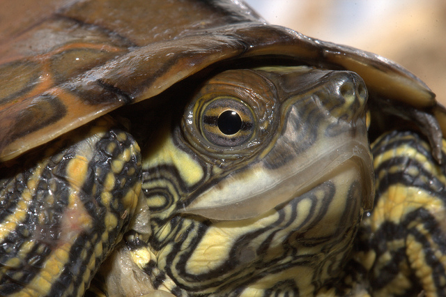 ringed map turtle, ninja turtle, Graptemys oculifera (4)