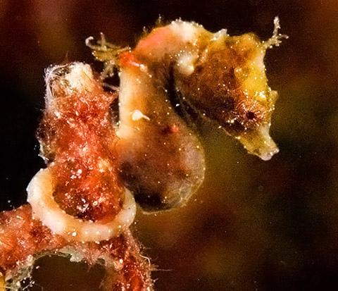 Hippocampus satomiae, seahorse (3)