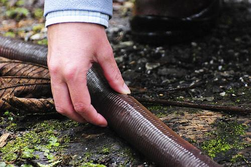 giant earthworms