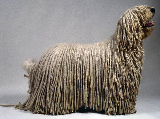 komondor dog  (5)
