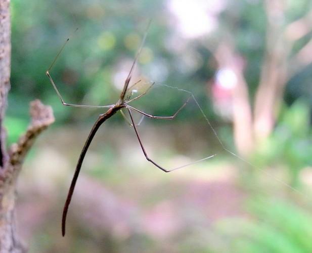 scary spider, whip spider, Argyrodes colubrinus (6)