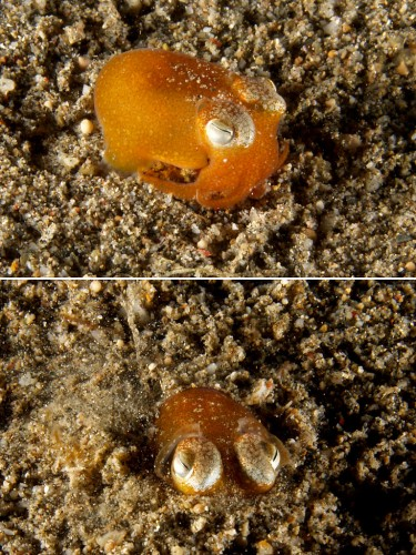 Tropical Bobtail Squids Are Actually Tiny, Insanely Cute Orange Blobs. Fact.