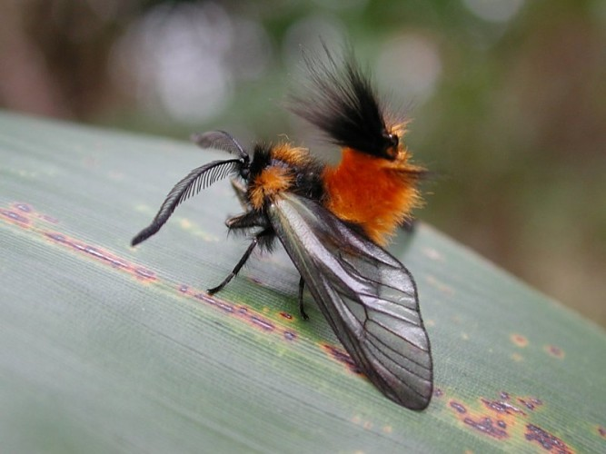 Moth Looks EXACTLY Like Those Adorable Woolly Bear Caterpillars
