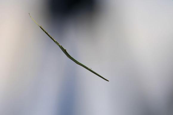 scary spider, whip spider, Argyrodes colubrinus (4)