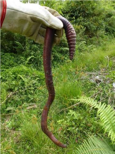 giant earthworm - photo #3
