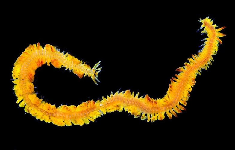 chinese dragon worm, Phyllodoce citrina (4)