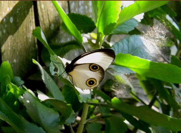silky owl butterfly, Taenaris catops (1)