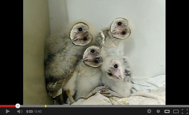 I Can't Decide if These Baby Barn Owls are Cute or Insanely Terrifying…