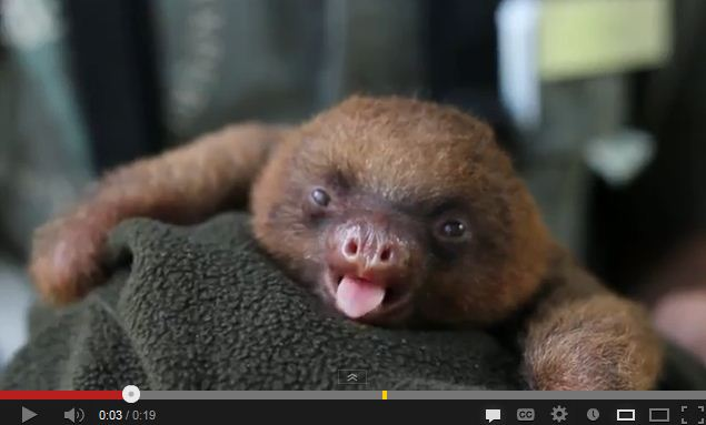 Adorable Baby Sloth Yawn is That OMG Kind of Adorable
