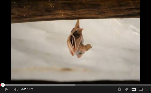 Is This the Cutest Sleepy Bat Ever?