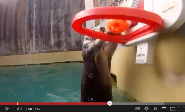 Eddie the Sea Otter Has Mad Basketball Dunking Skillz