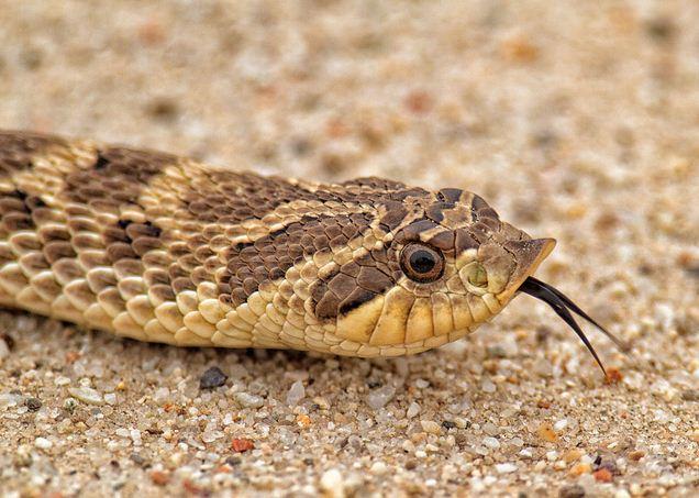 western hognose snake, Heterodon nasicus (1)