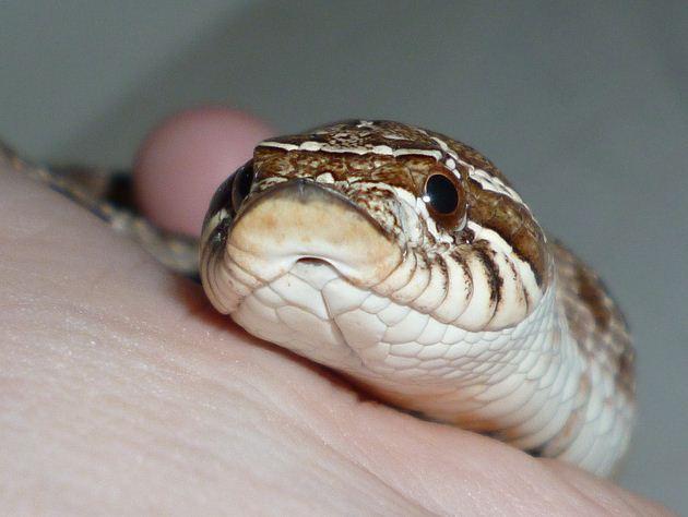 western hognose snake, Heterodon nasicus (2)