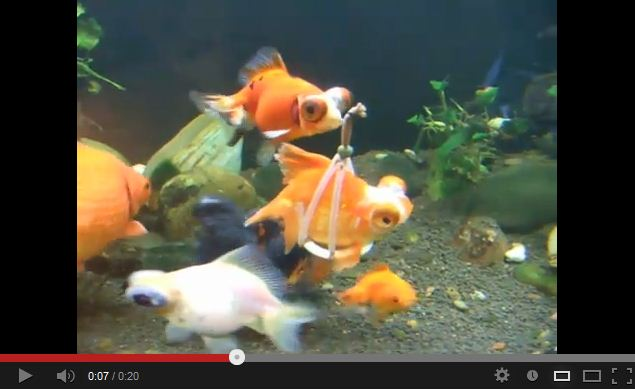 Disabled Goldfish Gets Harness, Now Swims Like a Champ.