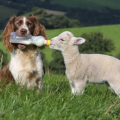 dog feeds lamb (3)