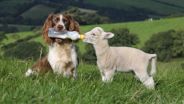 Jess the Sheepdog Becomes For Hire Sheep Momma