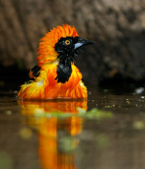 orange-backed troupial, Icterus croconotus (3)