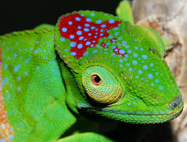 Furcifer timoni: Check out this GORGEOUS Newly Discovered Species of Chameleon!