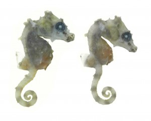 Hippocampus satomiae, seahorse (2)