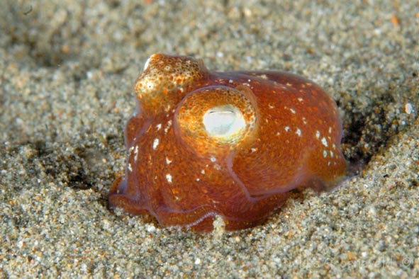 Sepiadarium kochi, tropical bobtail squid (1)