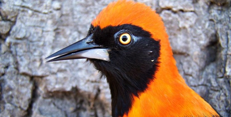 orange-backed troupial, Icterus croconotus (2)