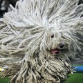 komondor dog (2)