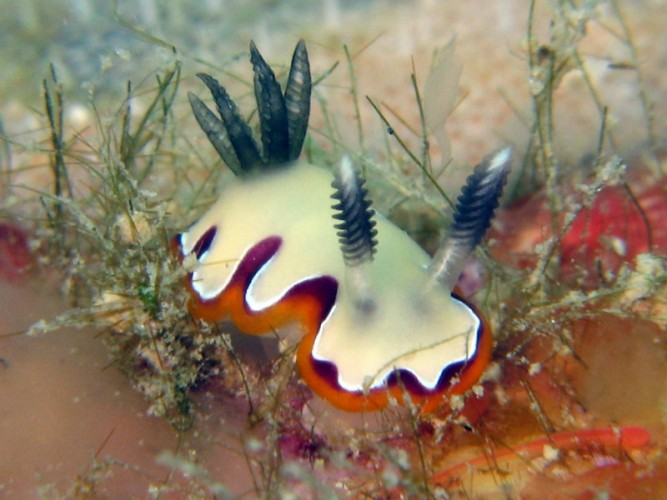New Week Nudi: Chromodoris fidelis