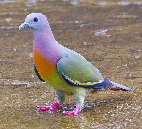 City Pigeons Take Note: the Pink-necked Green Pigeon is Hotter Than You Are.