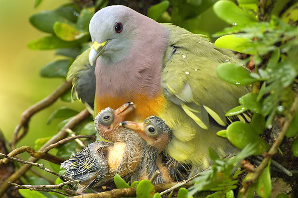 pink-necked green pigeon, Treron vernans (2)