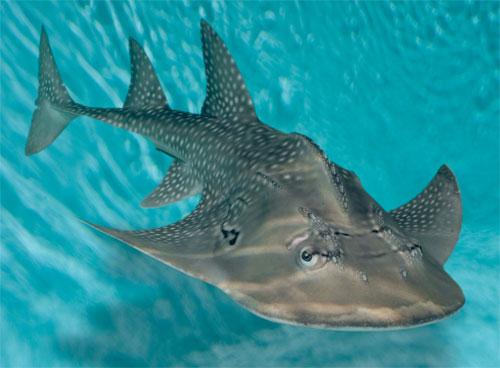 shark ray, Rhina ancylostoma (2)