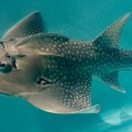 shark ray, Rhina ancylostoma (1)