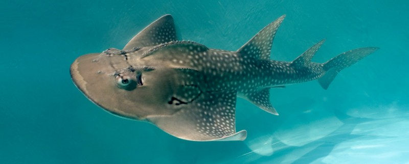 Take a Look at this Bizarre Shark Ray. It's a Shark… Ray… Thing.