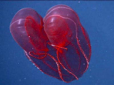 Happy Valentine's Day From this Big, Red, Heart Jelly!