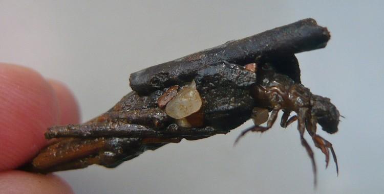 caddisfly larvae (7)