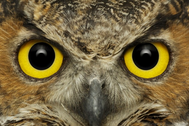 photo Bill Frymire  Owl