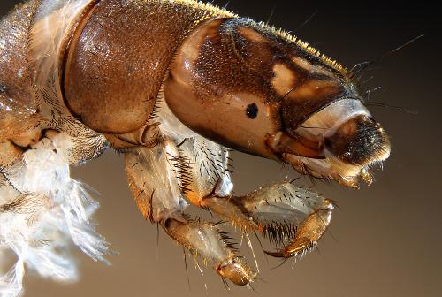 caddisfly larvae (2)