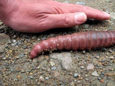 giant earthworm (4)