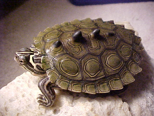 ringed map turtle, ninja turtle, Graptemys oculifera (2)