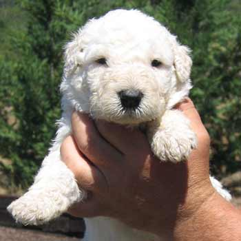 komondor dog (1) puppy