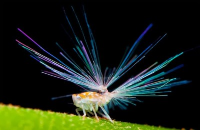Planthopper Nymphs Have 'Fireworks' Shooting Out Of Their Butts