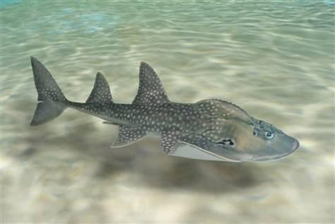shark ray, Rhina ancylostoma (3)