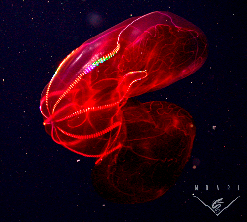 bloodybelly comb jelly, heart jelly (1)