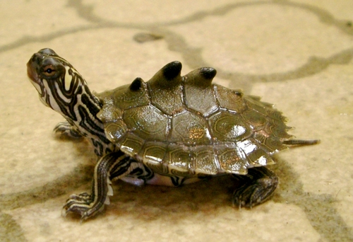 Ringed Map Turtles Must Be the Real Life Ninja Turtles. Yes. Definitely.