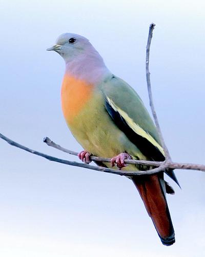 pink-necked green pigeon, Treron vernans (1)