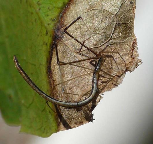 scary spider, whip spider, Argyrodes colubrinus (2)