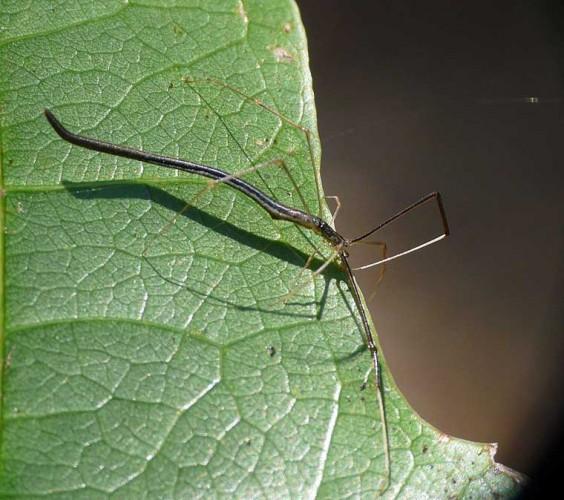 scary spider, whip spider, Argyrodes colubrinus (1)