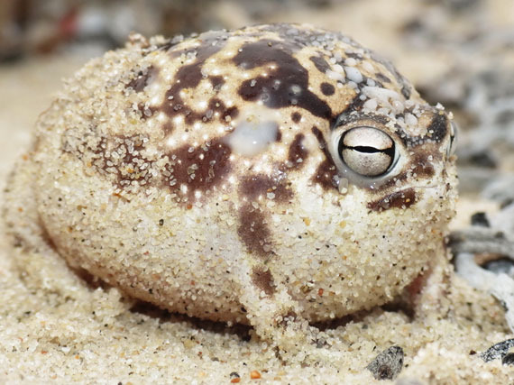 namaqua rain frog, Breviceps namaquensis (1)